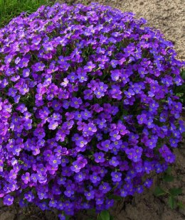 Aubrieta-Żagwin ,Axcent Deep Purple'