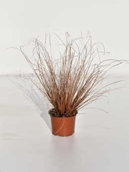 Carex ,Red Rooster' Doniczka 1L